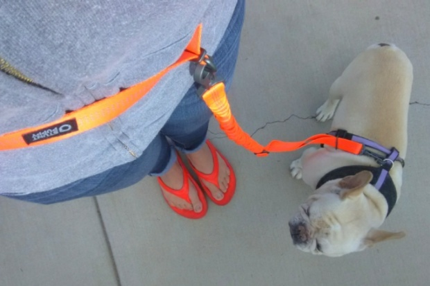 Wally is ready to go on a new adventure with his Stunt Runner leash by Stunt Puppy.